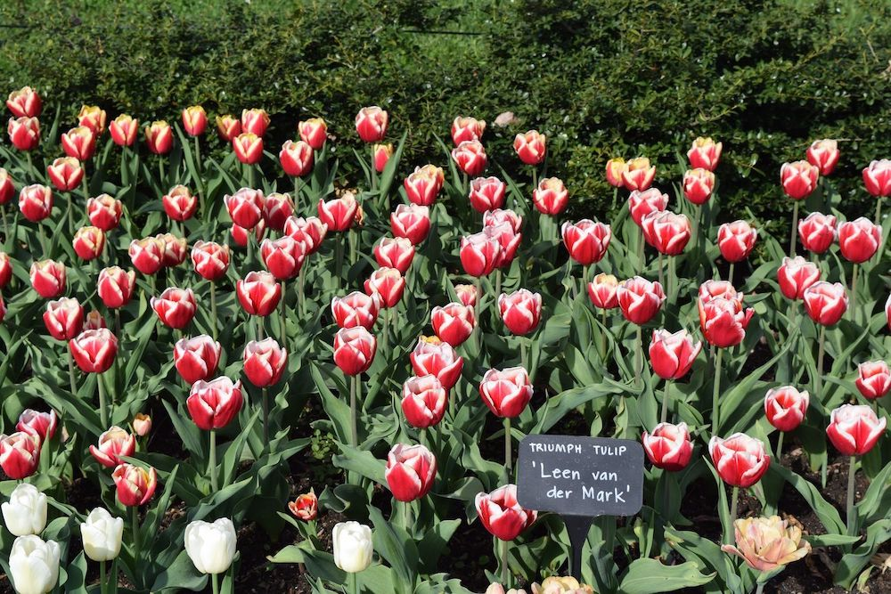 Brooklyn Botanic Garden Tulips