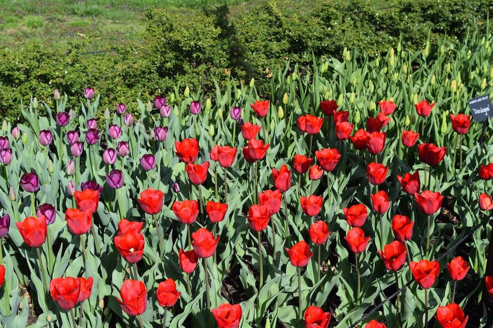 Brooklyn Botanic Red Tulips