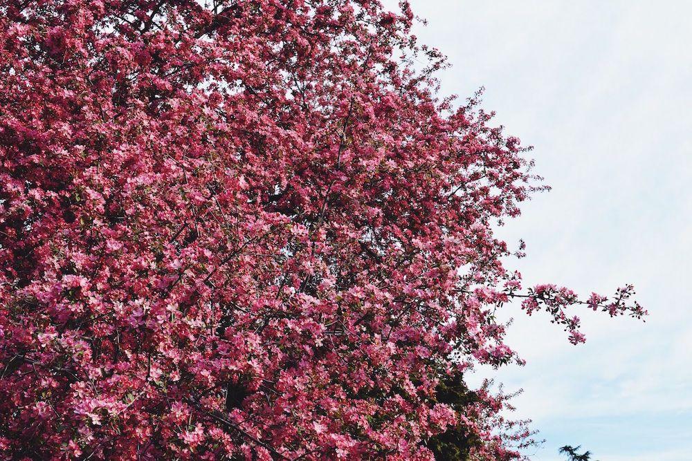 Brooklyn Botanic Cherry Blossom