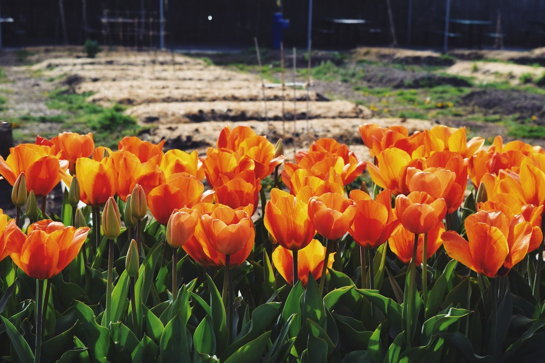Brooklyn Botanic Garden Orange Tulips