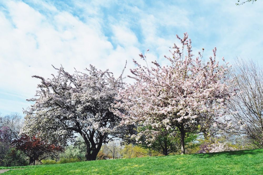 Brooklyn Botanic Cherry Blossoms