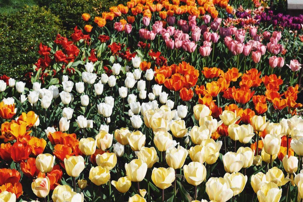 Brooklyn Botanic Tulips