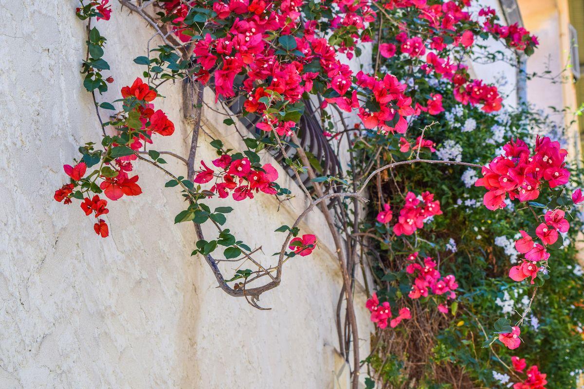 Antibes Flowers