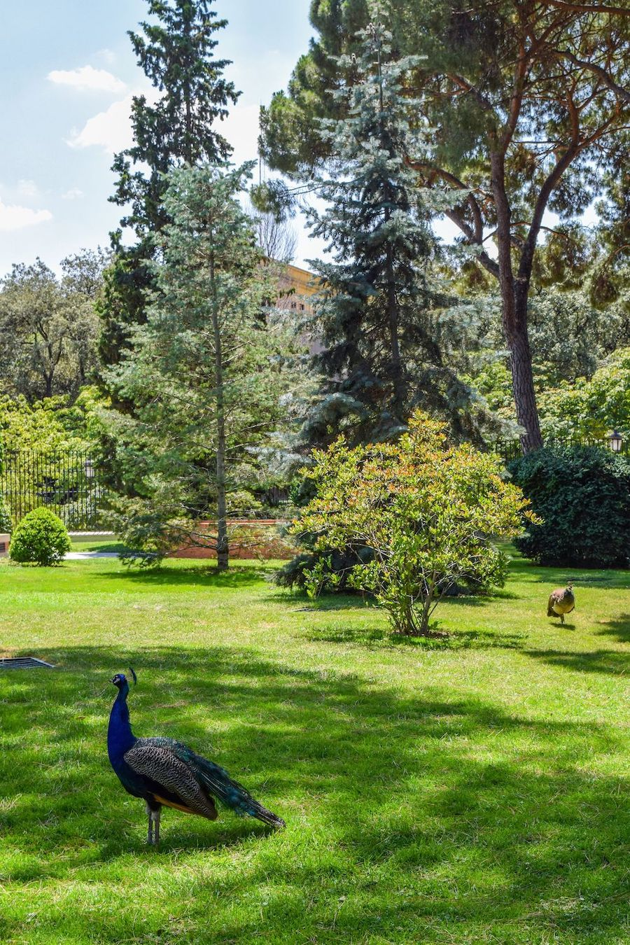 Peacocks in Madrid!